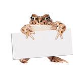 Sonoran Green Toad Holding Blank Sign. Sonoran Green Toad standing up and holding a blank sign to enter your marketing text onto royalty free stock photography