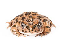 Sonoran Green Toad. Isolated on white Royalty Free Stock Photos