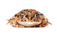 Sonoran Green Toad Looking Forward. And isolated on white Stock Photo