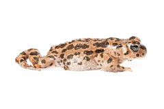 Sonoran Green Toad Walking. Forward and isolated on white Royalty Free Stock Photography