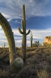 sonoran saguaro пустыни кактуса Стоковое фото RF