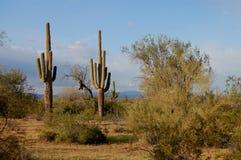 Sonoran Wüste lizenzfreie stockbilder