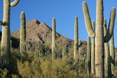 Sonoran Wüsten-Landschaft Lizenzfreies Stockfoto