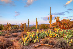Sonoran Wüste Stockfoto