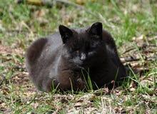 Sonos do gato preto Imagem de Stock
