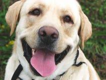 Sonrisa 2 del perro Fotografía de archivo