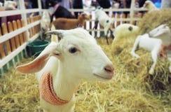 Sonrisa de la cabra en granja Fotografía de archivo libre de regalías
