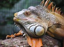 Sonrisa de la iguana Imagenes de archivo