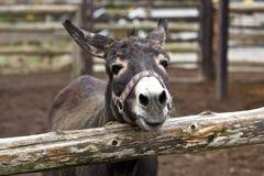 Sonrisa de un burro imagenes de archivo