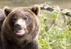 Sonrisa de un oso Imagen de archivo