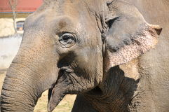 Sonrisa del elefante Imagen de archivo libre de regalías