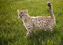 Sonrisa del gatito de Bengala Fotografía de archivo libre de regalías