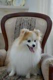 Sonrisa del perro de Pomerania de Pomeranian imagenes de archivo