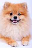 Perro de Pomeranian en el fondo blanco Foto de archivo libre de regalías