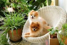 Sonrisa del perro de Pomeranian, sonrisas exteriores que juegan animales Foto de archivo libre de regalías
