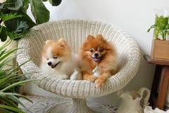 Sonrisa del perro de Pomeranian, sonrisas exteriores que juegan animales Imagen de archivo
