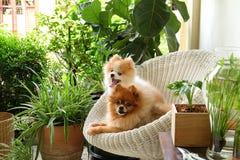 Sonrisa del perro de Pomeranian, sonrisas exteriores que juegan animales Foto de archivo