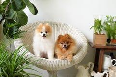 Sonrisa del perro de Pomeranian, sonrisas exteriores que juegan animales Imágenes de archivo libres de regalías
