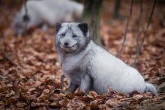 Sonrisa del zorro de la nieve fotos de archivo