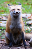 Sonrisa del zorro rojo Imagen de archivo libre de regalías
