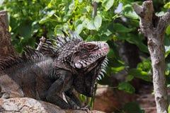 Sonrisa espinosa de la iguana Fotografía de archivo libre de regalías