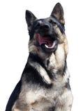 Sonrisa feliz del perro casero aislada en blanco Imagen de archivo libre de regalías