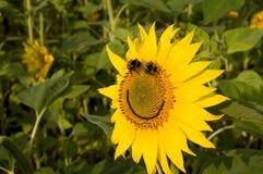 Sonrisa. Girasol y abejorros. Imágenes de archivo libres de regalías