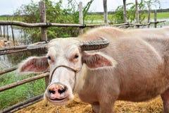 Sonrisa rosada del búfalo Fotos de archivo libres de regalías