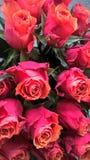 Sonrisas de rosas Imagenes de archivo