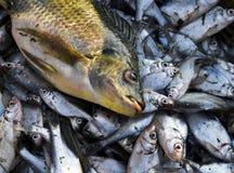 Sont morts les poissons Photo libre de droits