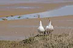 A pair of noisy singing seagulls duet on a sandune. Two seagulls on a shoreline dune singing in harmony Sony and Cher royalty free stock photography