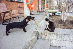 Dachshund dog barks at calmly sitting cat, on the porch, in the spring. royalty free stock photography