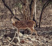 Deer of The Gir! royalty free stock images