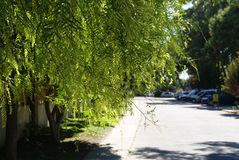 Acacia leaves hang over the road lit by the hot sun. royalty free stock photography