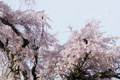 The crow on the cherry blossom tree royalty free stock images