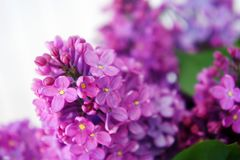 Lilac close-up, branches, in the sun Spring flowering of fragrant lilacs, Branches of bright lilac in the morning stock images