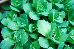 Bright green leaves wet, morning dew, drops of rain on the greens royalty free stock image