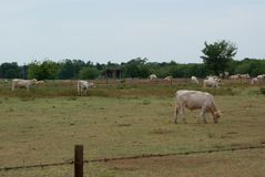 It is Cattle Grazing Time In East Texas. SONY DSC You can see It is Grazing Time In East Texas. The White Cows are eatting grass. Even though the drought is stock images