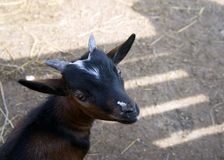 The head of a black little goat in the background of a shadow. SONY The head of a black little goat in the background of a shadow Stock Photos