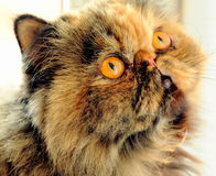 Sonya the cat. Persian cat Sonya can't wait to play stock image