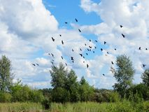 Soon fall. In an early autumn rooks gather in packs Stock Images