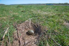 Soon there chicks. The nest of the Common Gull (Larus canus) in the wild stock photo
