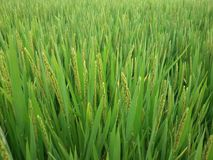 Soon to be food. A green rice field in china shanghai area stock image