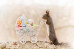 Soon to be mother. Close up of red squirrel with a pram with eggs Stock Photos