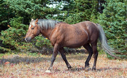 Soot colored Palomino Wild Horse Stallion walking confidently in the Pryor Mountain Wild Horse range in Montana. USA stock images