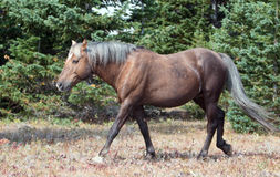 Soot colored Palomino Wild Horse Stallion walking in the Pryor Mountain Wild Horse range in Montana Stock Photos
