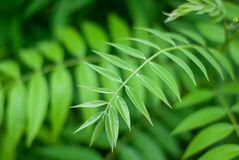 Soothing green leaves background, nature beauty. For background or wallpaper Royalty Free Stock Photo