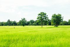 Soothing green rice field with trees and bright sky in backgroun. D Royalty Free Stock Photos