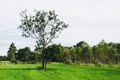 Soothing green rice field with trees and bright sky in backgroun. D Stock Photography