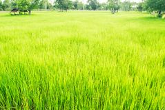 Soothing green rice field with trees and bright sky in backgroun. D Stock Photos